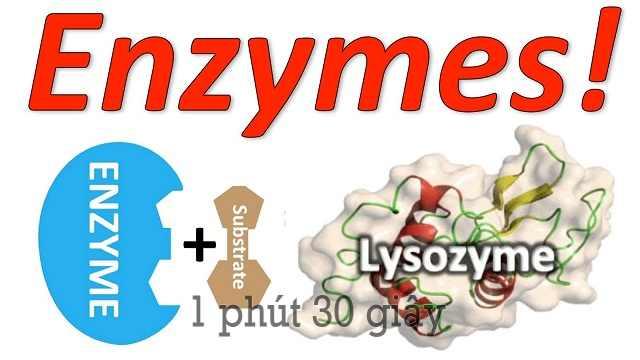 Enzyme là một thành phần có vai trò quan trọng đối với cơ thể