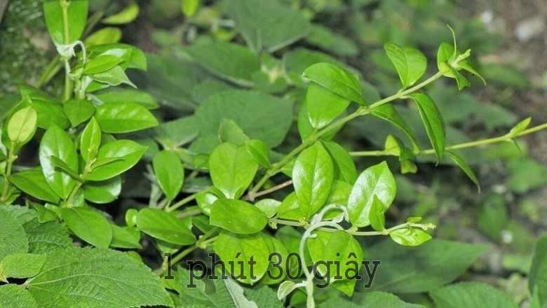 Dây thìa canh được trồng theo tiêu chuẩn GACP-WHO